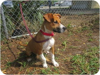 Boxer Mix Puppy for adoption in Bradenton, Florida - Milli