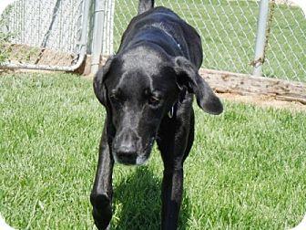 Labrador Retriever/Greyhound Mix Dog for adoption in Meridian, Idaho - Spirit
