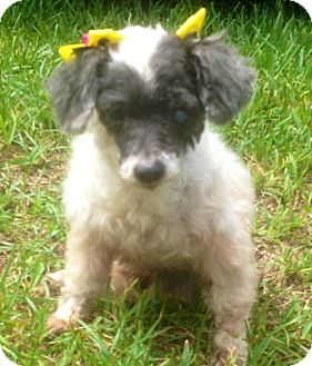 Poodle (Toy or Tea Cup) Dog for adoption in Davie, Florida - Rosie