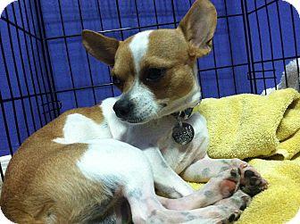 Chihuahua Mix Dog for adoption in Sedona, Arizona - NEO