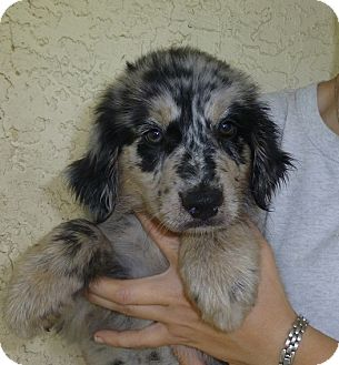 Golden Retriever/Australian Shepherd Mix Puppy for adoption in Oviedo, Florida - Mitsy
