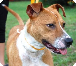 Whippet/American Pit Bull Terrier Mix Dog for adoption in Gainesville, Florida - River