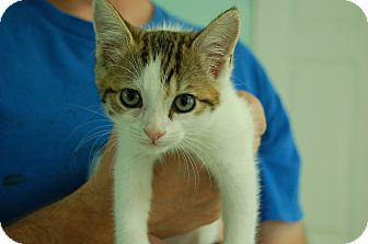 Domestic Shorthair Kitten for adoption in Bradenton, Florida - Avalanche