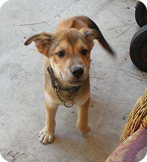 Husky/Rhodesian Ridgeback Mix Puppy for adoption in Ormond Beach, Florida - Angie