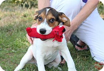 Jack Russell Terrier Mix Dog for adoption in Hatifeld, Pennsylvania - Max