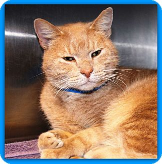 Domestic Shorthair Cat for adoption in Marietta, Georgia - BRUNO