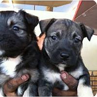Adopt A Pet :: Luna - North Hollywood, CA