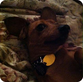 Dachshund Dog for adoption in Vale, Oregon - Stitch