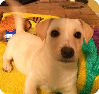 Welsh Corgi/Dachshund Mix Puppy for adoption in ST LOUIS, Missouri - Hillary