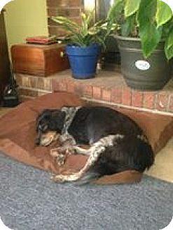 Cocker Spaniel Mix Dog for adoption in Darlington, South Carolina - Josey