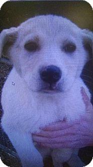 Shepherd (Unknown Type) Mix Puppy for adoption in Danbury, Connecticut - Maggie