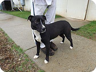 Border Collie/Labrador Retriever Mix Dog for adoption in Laingsburg, Michigan - Baby