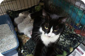 Domestic Shorthair Kitten for adoption in Henderson, North Carolina - Evette & Kittens