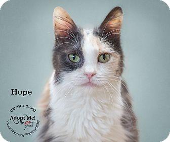 Domestic Longhair Cat for adoption in Phoenix, Arizona - Hope