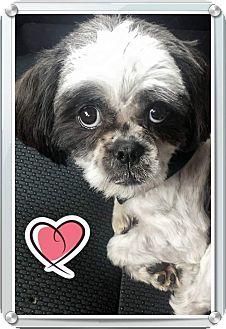 Shih Tzu Mix Dog for adoption in San Diego, California - Dixie