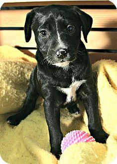 Labrador Retriever Mix Puppy for adoption in Lufkin, Texas - Avery