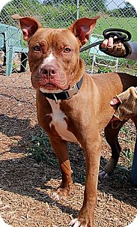 Pit Bull Terrier Dog for adoption in Tyrone, Pennsylvania - Sammy