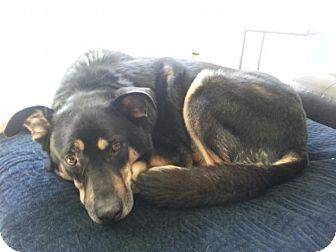 Shepherd (Unknown Type)/Husky Mix Dog for adoption in Saskatoon, Saskatchewan - Koby