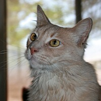 Domestic Longhair Cat for adoption in Phelan, California - Fireball