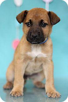 Shepherd (Unknown Type) Mix Puppy for adoption in Waldorf, Maryland - Leonardo