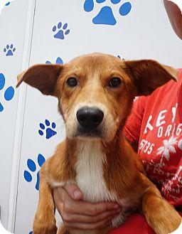 German Shepherd Dog/Labrador Retriever Mix Puppy for adoption in Oviedo, Florida - Tyler