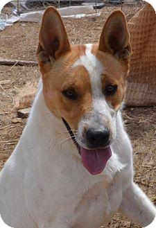 Basenji/Mixed Breed (Medium) Mix Dog for adoption in Pahrump, Nevada - Rascal