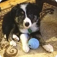 Adopt A Pet :: Stella - Allen, TX