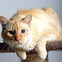 Siamese/Domestic Shorthair Mix Cat for adoption in Reno, Nevada - Uber
