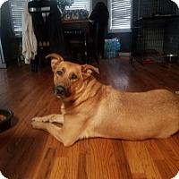 German Shepherd Dog/Labrador Retriever Mix Dog for adoption in Warrensburg, Missouri - Athena