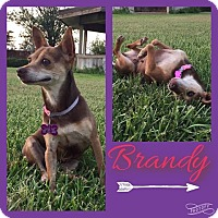 Adopt A Pet :: Brandy - Snyder, TX