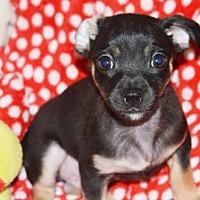 Adopt A Pet :: Bean - Fairmont, WV