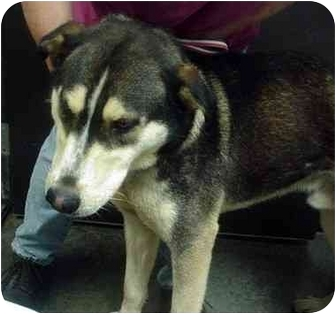 Husky/German Shepherd Dog Mix Dog for adoption in Manassas, Virginia - Malou
