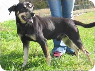 Shepherd (Unknown Type) Mix Dog for adoption in Florence, Indiana - Dandy