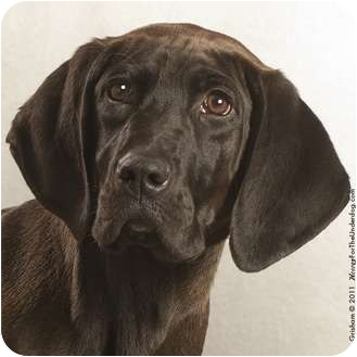 Labrador Retriever/Hound (Unknown Type) Mix Dog for adoption in Coppell, Texas - Buck