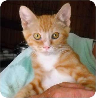 Domestic Shorthair Kitten for adoption in Palmdale, California - Denny