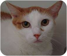 Domestic Shorthair Cat for adoption in Hampton, Virginia - Frances