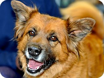 Chow Chow/Shepherd (Unknown Type) Mix Dog for adoption in Guelph, Ontario - Keesha