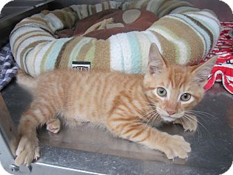 Domestic Shorthair Kitten for adoption in Bradenton, Florida - Simon