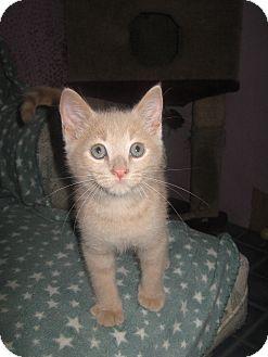 Domestic Shorthair Kitten for adoption in Elliot Lake, Ontario - Tom Tom