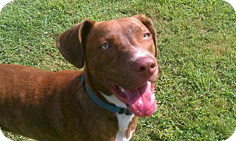 Boxer/Australian Shepherd Mix Dog for adoption in Hagerstown, Maryland - Rudy