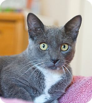 Russian Blue Cat for adoption in Houston, Texas - Eve