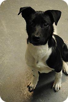 Labrador Retriever/Terrier (Unknown Type, Medium) Mix Dog for adoption in East Hartford, Connecticut - sloane  MEET ME 3/22