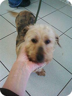 Silky Terrier/Skye Terrier Mix Dog for adoption in Rockaway, New Jersey - Paris