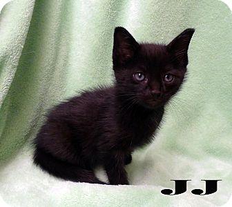 Domestic Shorthair Kitten for adoption in Bentonville, Arkansas - JJ