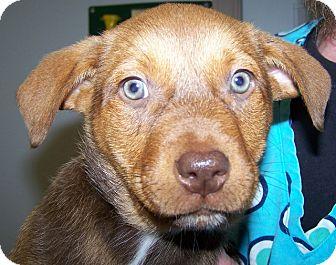 Rottweiler/Australian Cattle Dog Mix Puppy for adoption in Grants Pass, Oregon - Yogi