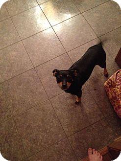 Miniature Pinscher/Chihuahua Mix Dog for adoption in Longview, Texas - JoJo