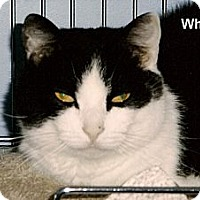 Adopt A Pet :: Whiskers - Medway, MA