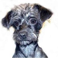 Adopt A Pet :: Misha - New York, NY