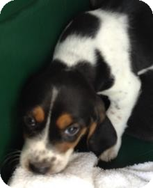 Beagle Mix Puppy for adoption in Gainesville, Florida - Jerry