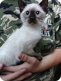 Siamese Kitten for adoption in Ogden, Utah - Mayoke